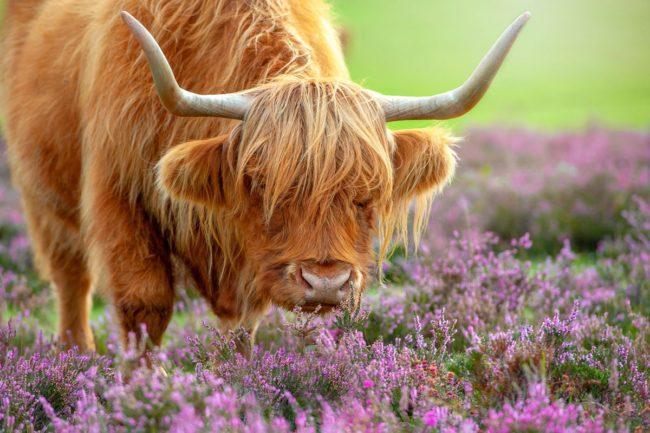 Longhorn cow eating heather