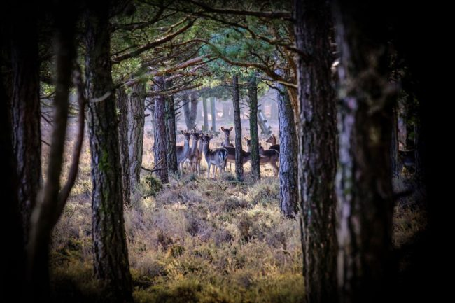 Herd of deer in the New Forest